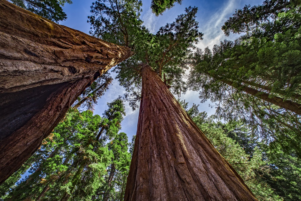 De Sequoia sempervirens, of Redwood-bomen