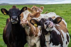 De koe als organisatiemodel